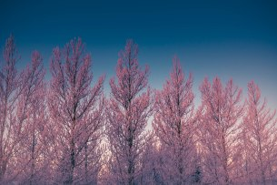 pink-trees